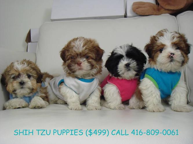 ?? SHIH TZU PUPPIES ?? NON SHEDDING - m/f's, 10-11 lbs *CUTE*
