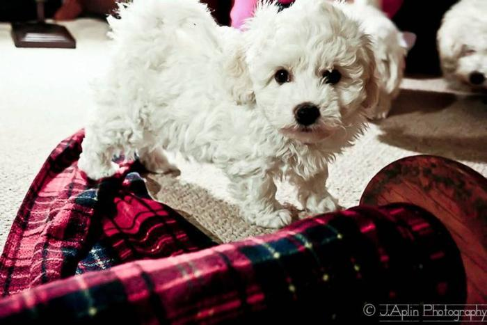 2 ADORABLE BICHON FRISE PUPPIES FOR SALE for sale in