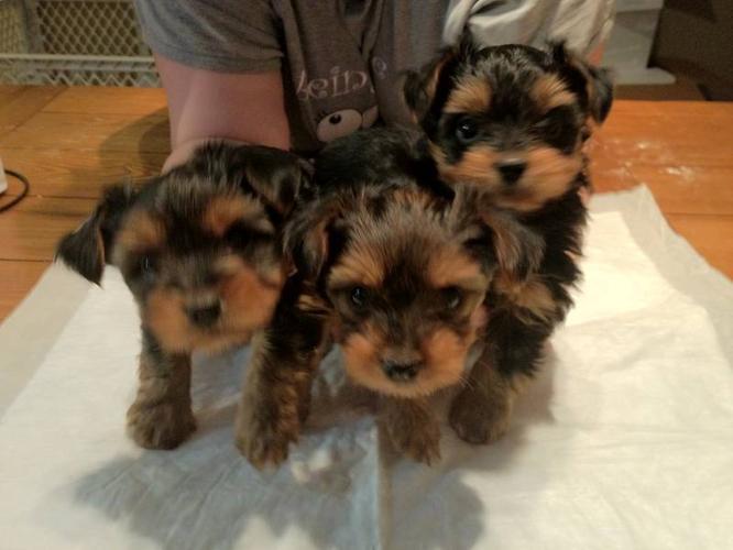 2 Adorable Yorkie Puppies Left - $600 OBO