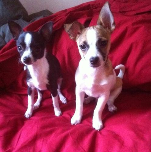 2 Chihuahua Pups for Sale