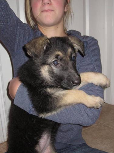 2 CKC Reg'd Female German Shepherd Puppies - family friendly