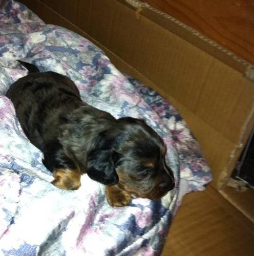 2 male miniature dachshunds left