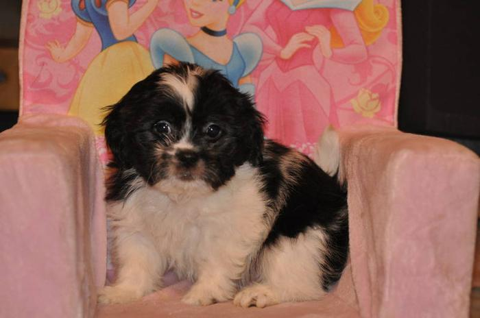 3 BICHON X SHIH TZU PUPPIES LEFT 9 WEEKS OLD