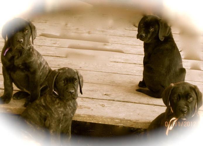 3 Female English Mastiff Puppies
