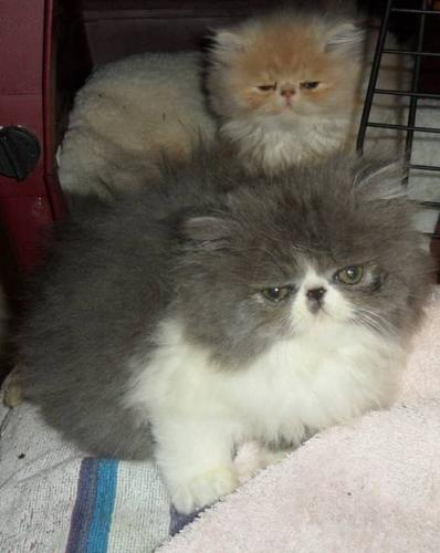 3 persian Kittens..Put a certificate under the tree..