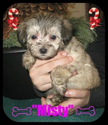 3/4 Maltese 1/4 Chihuahua Puppies