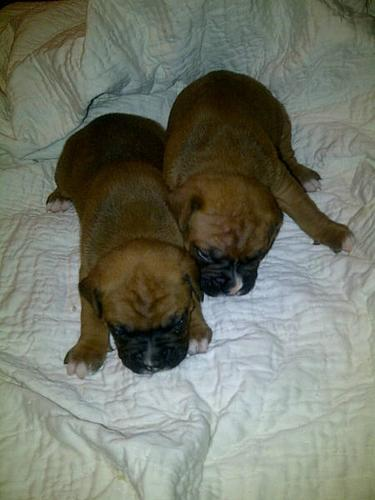 6 Pure Bred Boxer Puppies