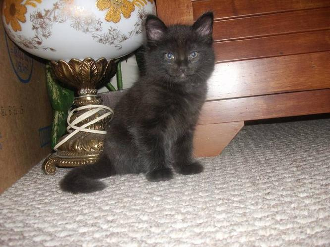 7 week old kitten needs home
