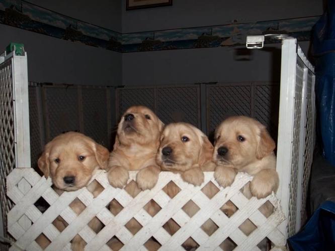 8 Golden Retriever Puppies