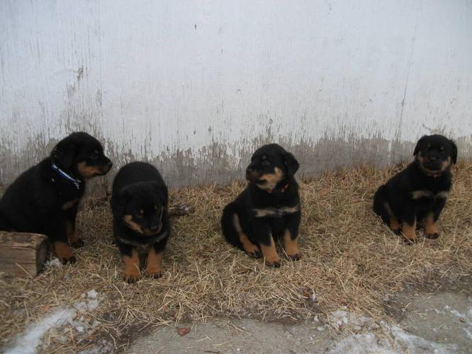 8 WEEK OLD ROTTIES !! 5 LEFT 2 BOYS 3 GIRL