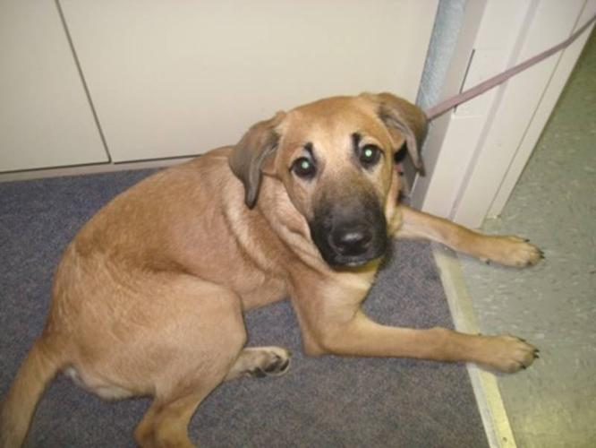 A Free German Shepard Part Lab *6months old* to a GOOD HOME!!!