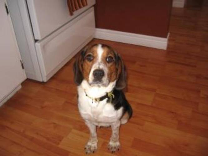 Adopt Quinn through Beagle Paws!