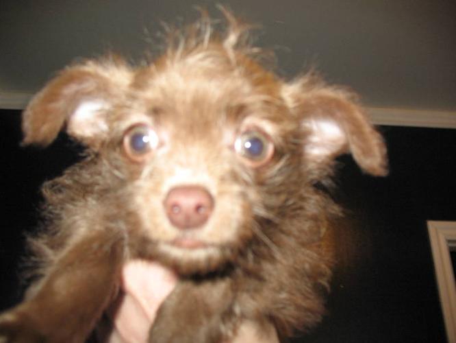 Adorable Chihuahua cross