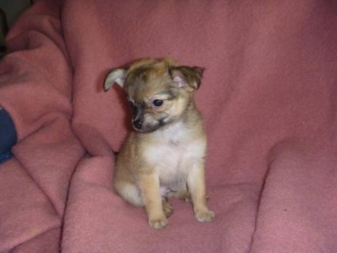 Adorable Chihuahua puppies ready for a loving home.