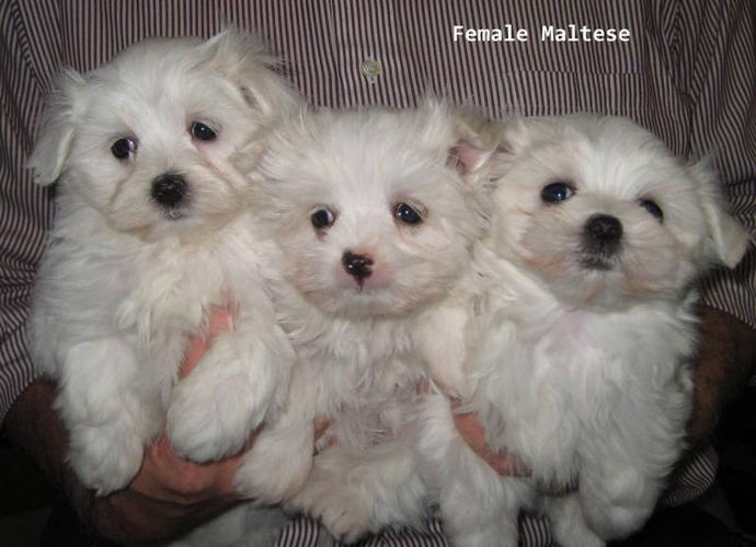 Adorable Maltese Puppies and one Tea cup size for sale in Toronto ...