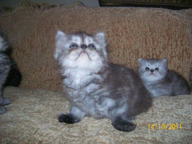 Adorable Persian/Himalayan kittens for sale in Halifax, Nova Scotia ...