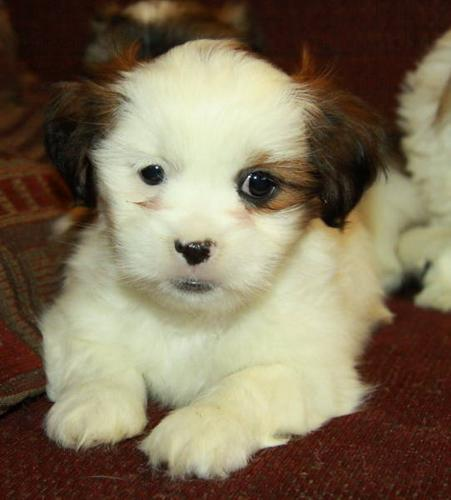 Adorable Shih Tzu Puppies - Only 1 Male Left!