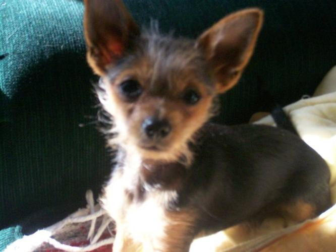 ADORABLE YORKIE PUPPY!!