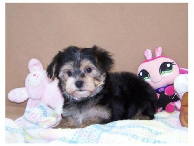 Dog Photo Maltese Yorkie Puppies for Sale