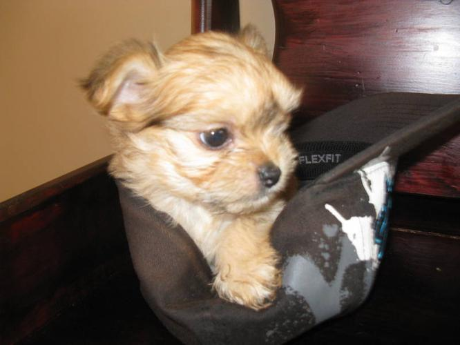 Chihuahua Puppies For Sale In Manitoba