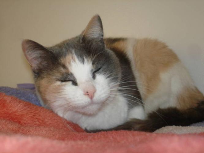 Adult Female Cat - Dilute Calico: