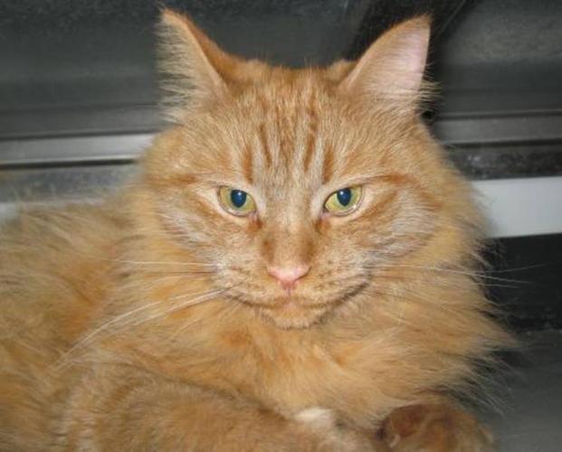 Adult Female Cat Domestic Long Hair Orange Quot Thomasina