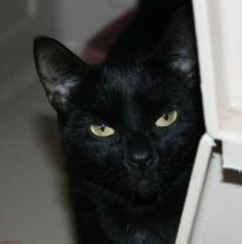 Adult Female Cat - Domestic Short Hair-black: