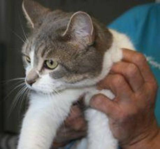 Adult Female Cat - Domestic Short Hair - gray and white Tabby