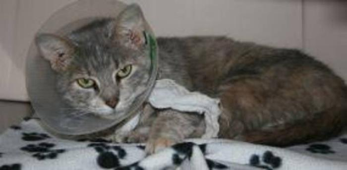 Adult Female Cat - Domestic Short Hair-gray Tabby: