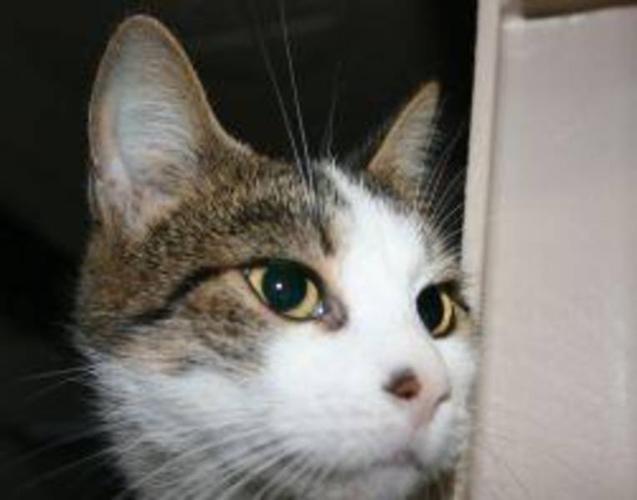 Adult Female Cat - Tabby Domestic Short Hair-white: