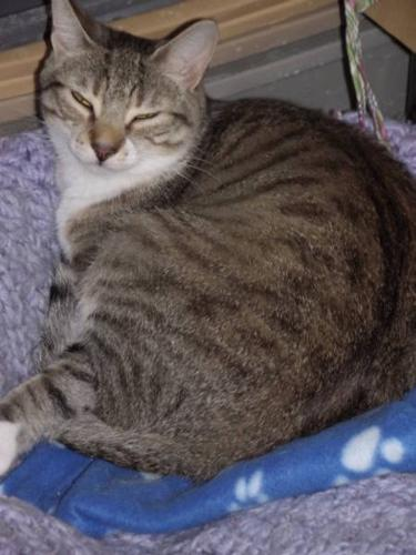 Adult Female Cat - Tabby - white: