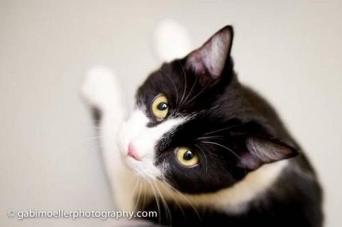 Adult Female Cat - Tuxedo: