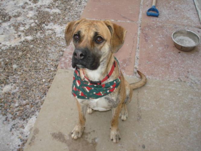 Adult Female Dog - Boxer: