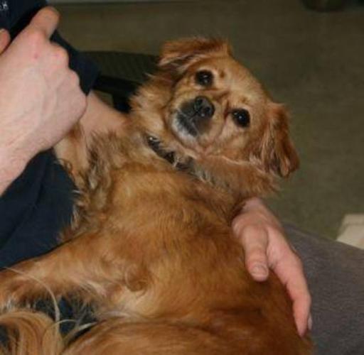 Adult Female Dog - Chihuahua Pomeranian: