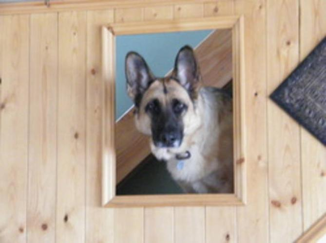 Adult Female Dog - German Shepherd Dog:
