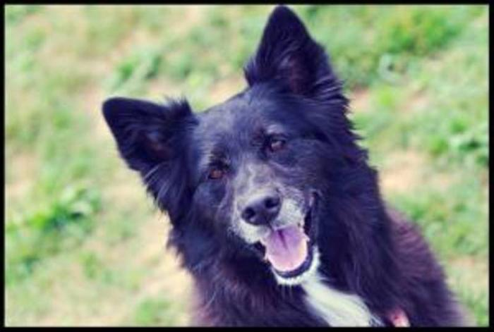 Adult Female Dog - Husky Border Collie: