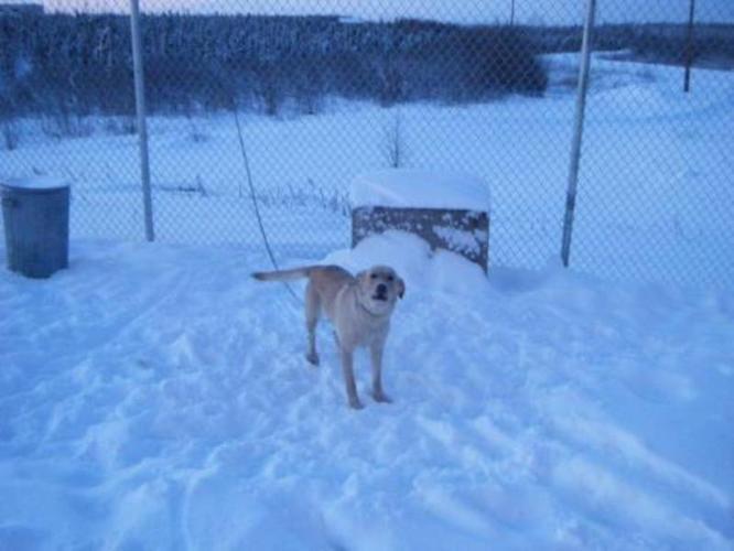 Adult Female Dog - Labrador Retriever Golden Retriever