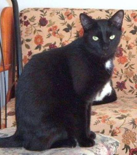 Adult Male Cat - Domestic Short Hair-black: