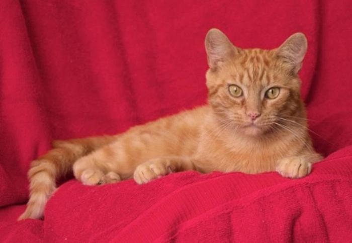 Adult Male Cat - Domestic Short Hair-orange: