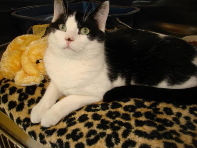 Adult Male Cat - Domestic Short Hair: