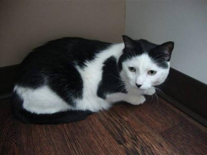 Adult Male Cat - Domestic Short Hair: