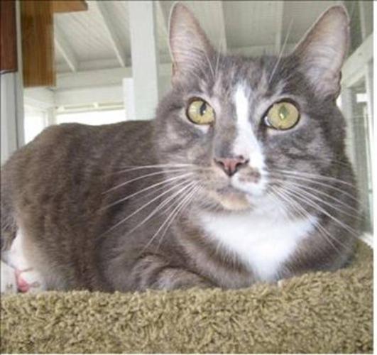 Adult Male Cat - Domestic Short Hair
