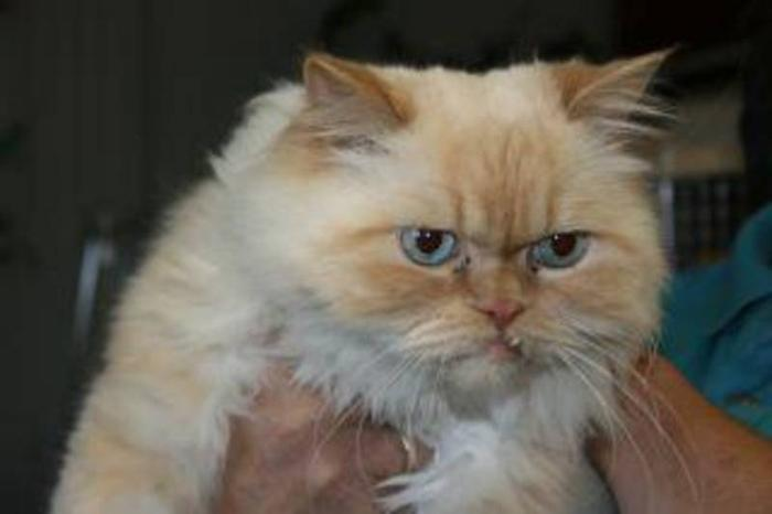 Adult Male Cat - Himalayan: