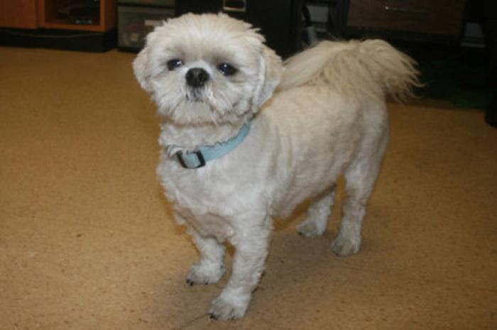Adult Male Dog - Bichon Frise Shih Tzu: