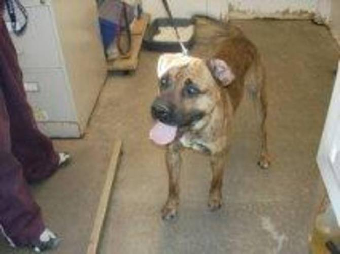 Adult Male Dog - Boxer: