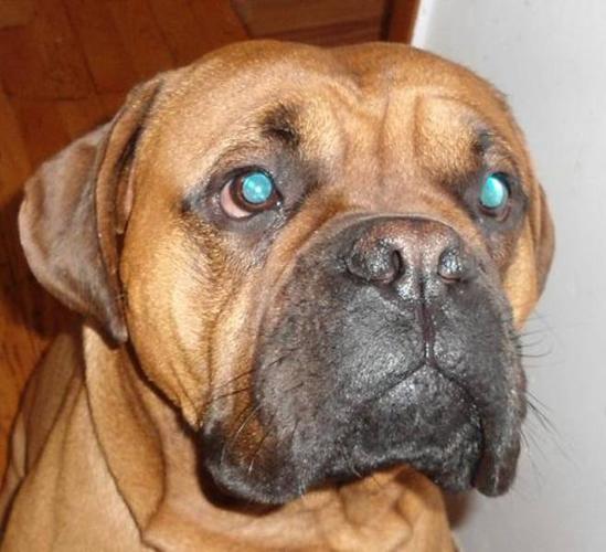 Adult Male Dog - Boxer Mastiff: