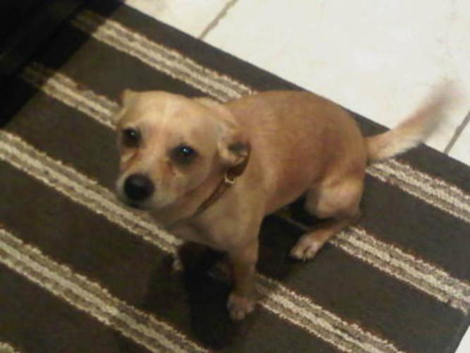 Adult Male Dog - Chihuahua: