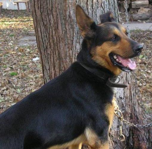 Adult Male Dog - German Shepherd Dog Labrador Retriever: