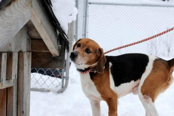 Adult Male Dog - Hound: