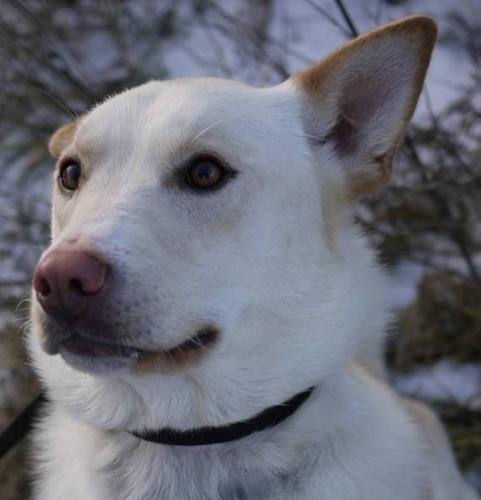 Adult Male Dog - Labrador Retriever Husky: